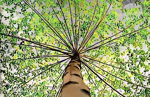 Pohon tertinggi di dunia