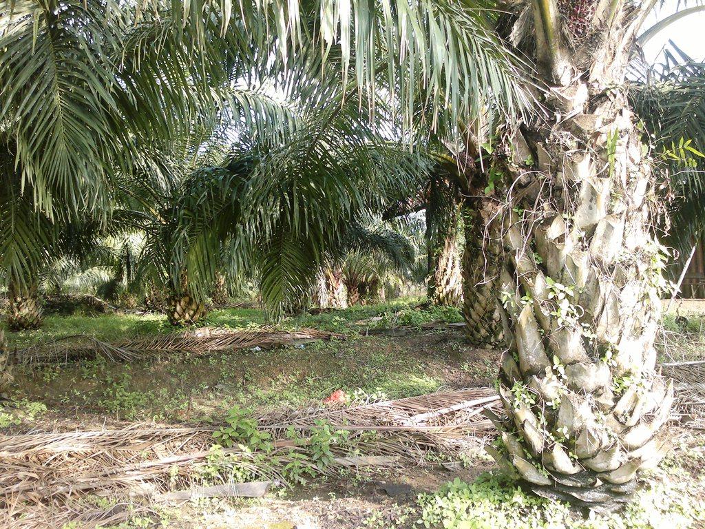 pohon sawit
